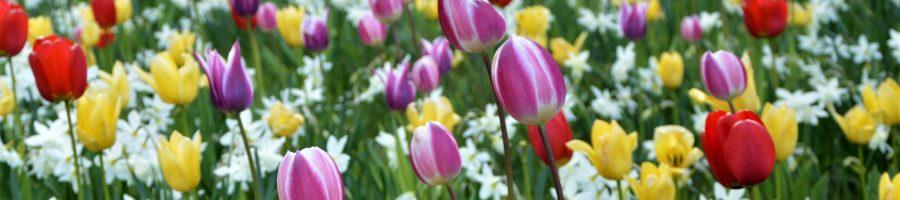 tulipany-daniel-edit